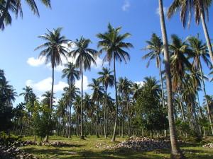 coconut farm 1