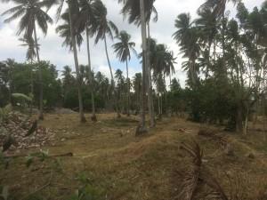 coconut farm 2